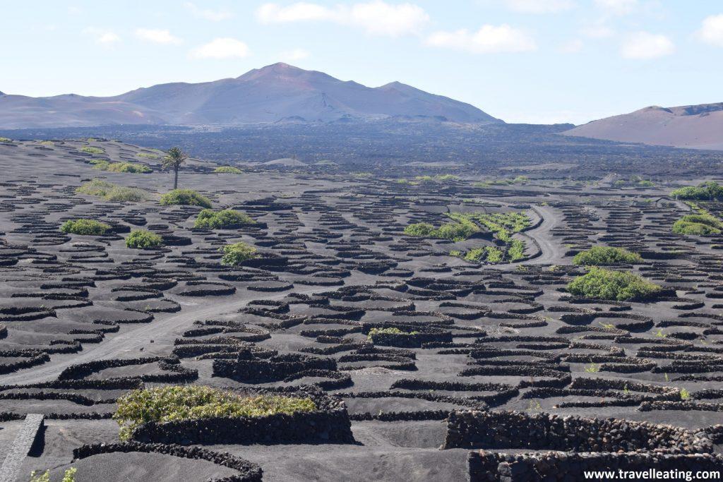 Gran extensión de tierra volcánica moteada por centenares de vides que se encuentran rodeadas de semicírculos hechos con roca volcánica. De telón, vemos algunos volcanes.