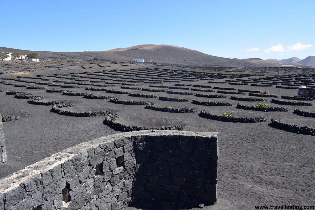 Gran extensión de viñedos en medio de una tierra volcánica negra y rodeados de semicírculos hechos de roca volcánica.