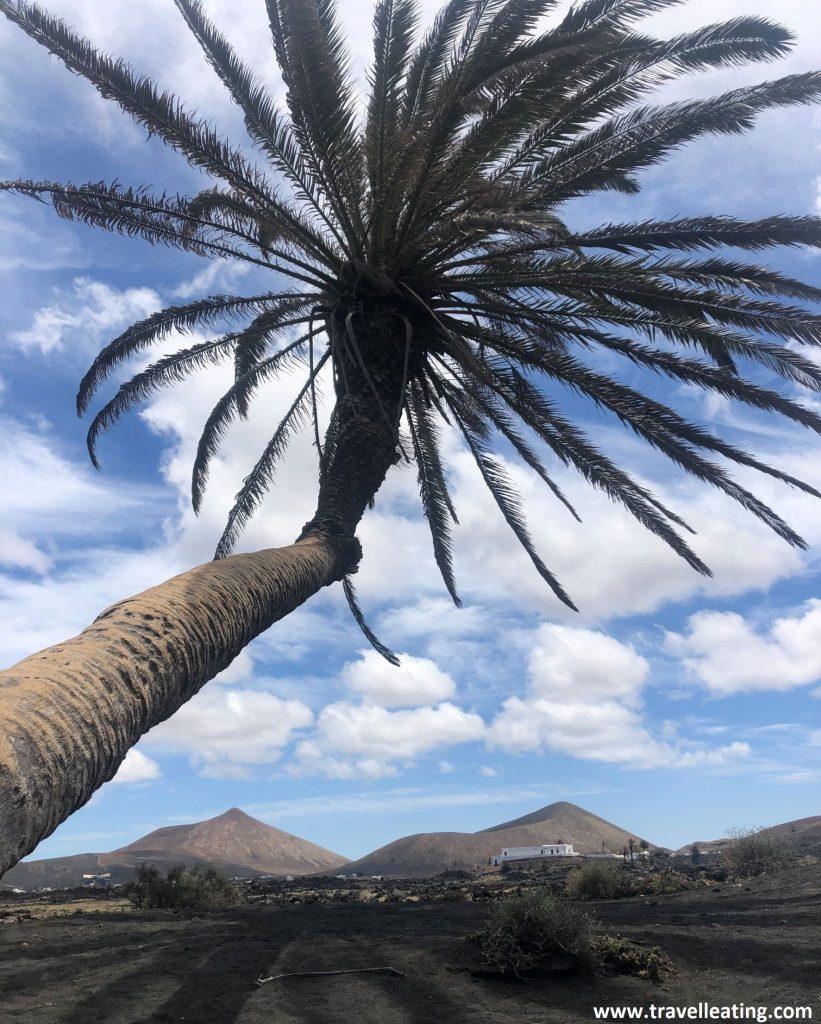 Impresionante palmera que se encuenta inclinada en medio de un camino y tras la cual se ve un bonito paisaje volcánico.
