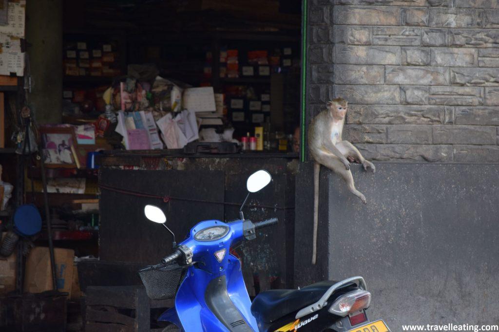 Mono sentado en el margen de la puerta de una tienda, a punto para entrar y robar la comida que allí se vende.
