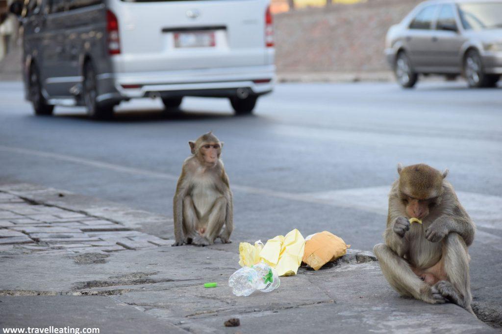 Pareja de monos comiendo en la acera de la calle, junto a los coches circulando.