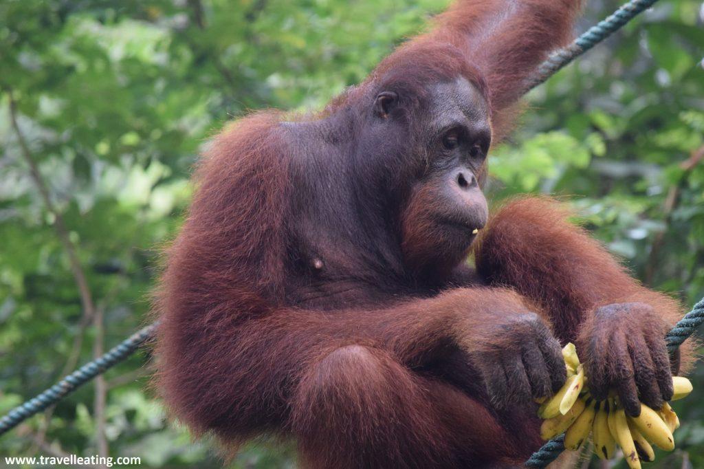 Orangután en Borneo.