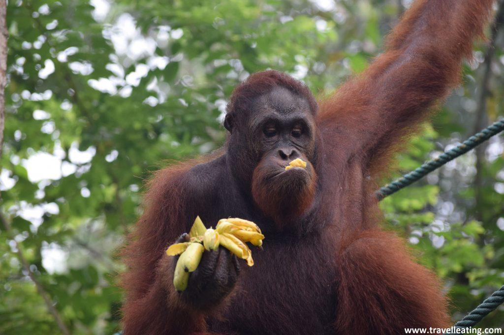 Feeding en el Centro de rehabilitación de orangutanes de Semenggoh.