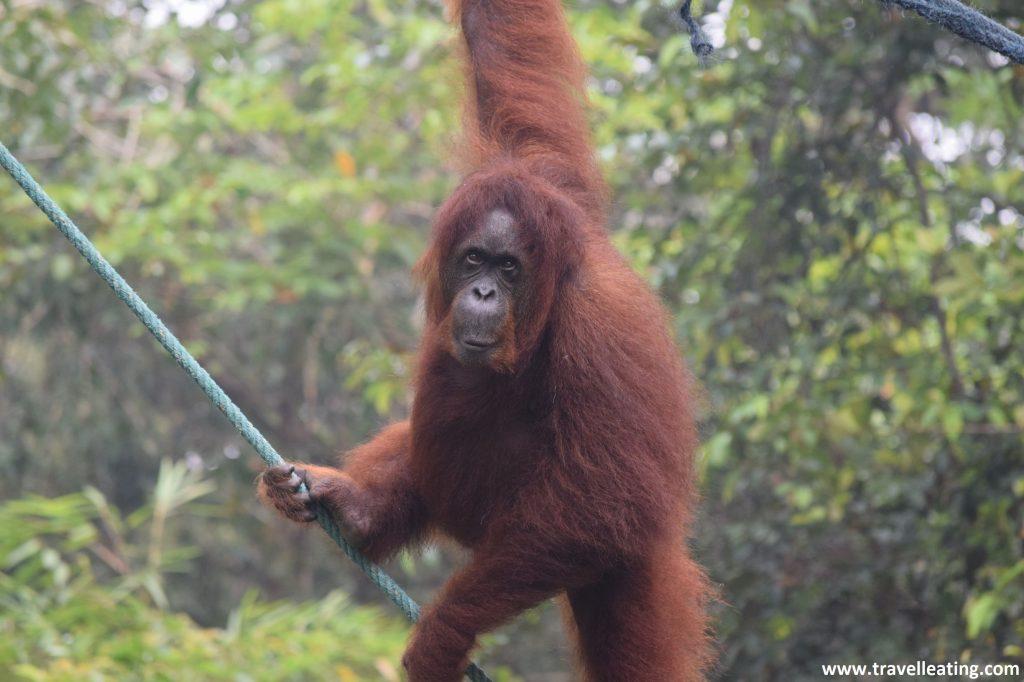 Centro de recuperación de orangutanes Semenggoh.