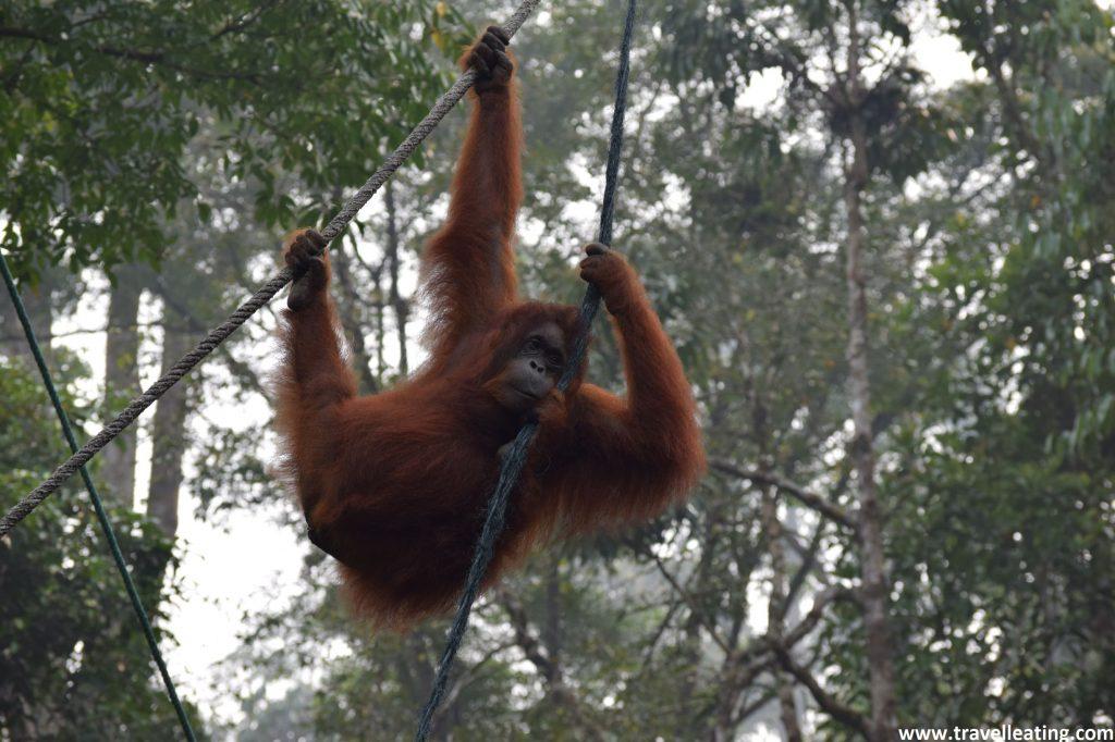 Centro de Rehabilitación de orangutanes