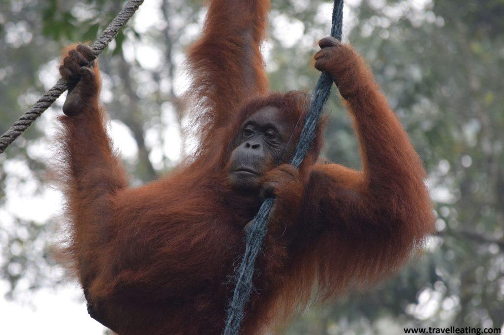 Orangután del C.R.Semenggoh en Borneo, Malasia.