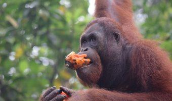 Orangután, Centro de Recuperación de Semenggoh, Borneo malayo.