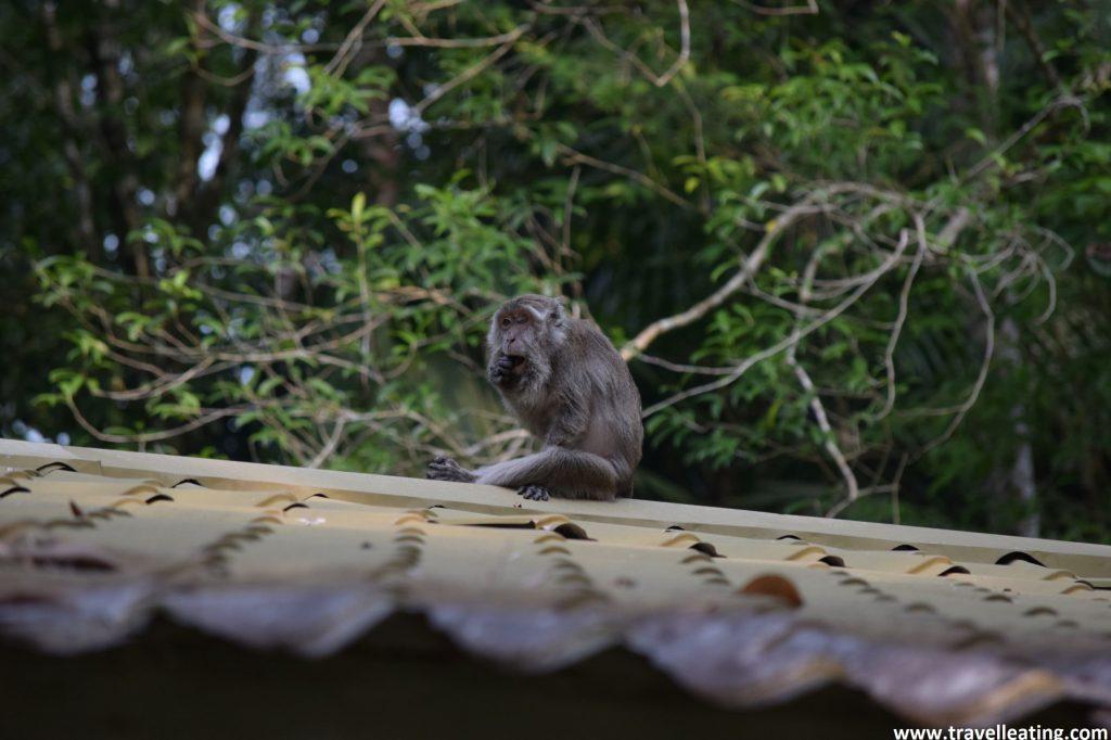 Macaco encima del Hostel del Parque Nacional Bako.