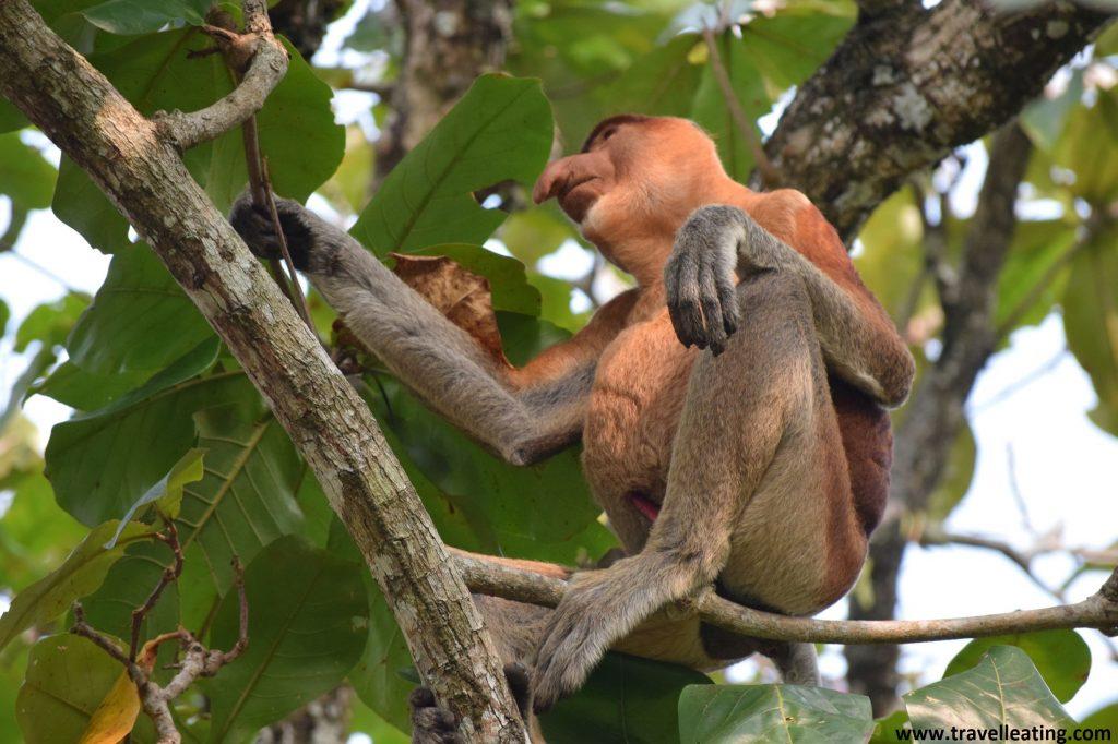 Mono narigudo junto a las oficinas del PN de Bako. Borneo, Malasia.