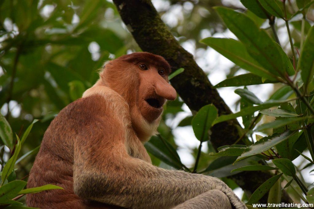 Mono narigudo en el Parque Nacional de Bako.