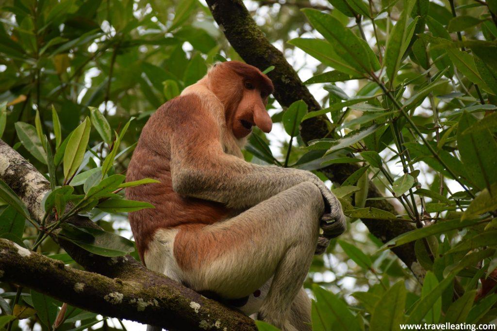 Mono narigudo. Parque Nacional de Bako en Borneo, Malasia.