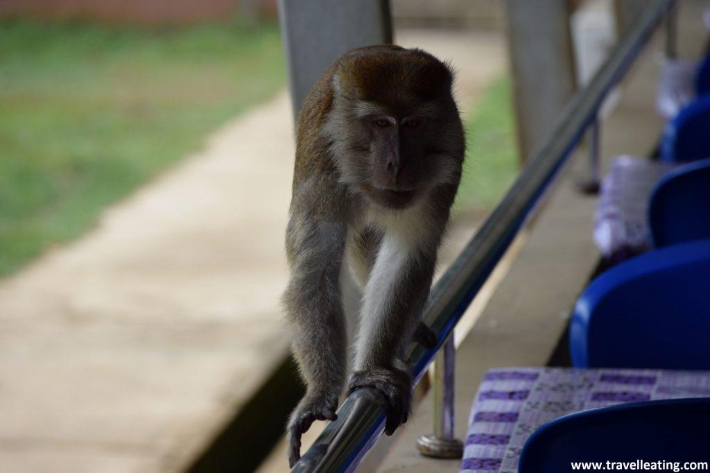 Macaco en el restaurante del Parque Nacional Bako.
