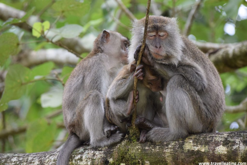 Familia de macacos en el Parque Nacional Bako.