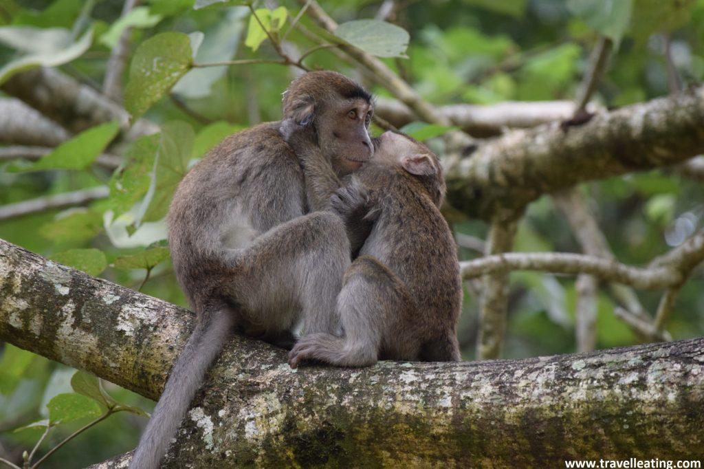 Made y cría de macacos. Parque Nacional de Bako, Borneo, Malasia.