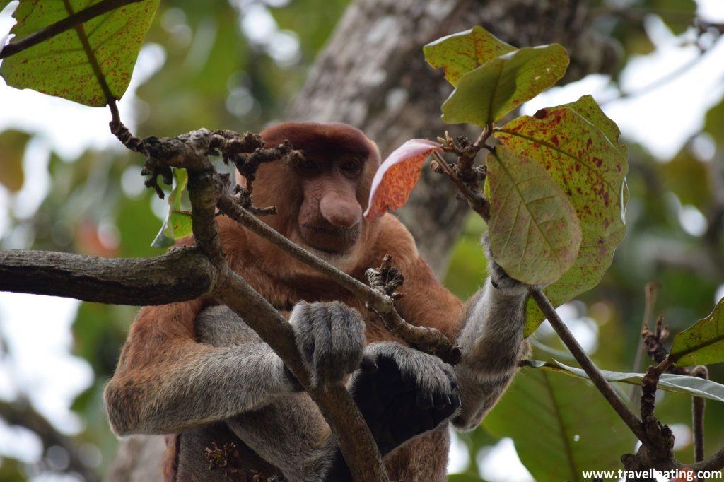 Mono narigudo comiendo. Parque Nacional de Bako, Borneo.