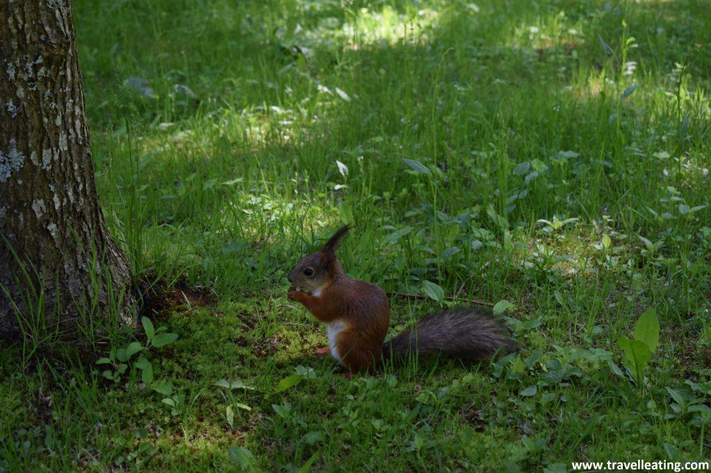 Ardilla comiendo una bellota a los pies de uno de los árboles del Parque Inferior de Peterhof.