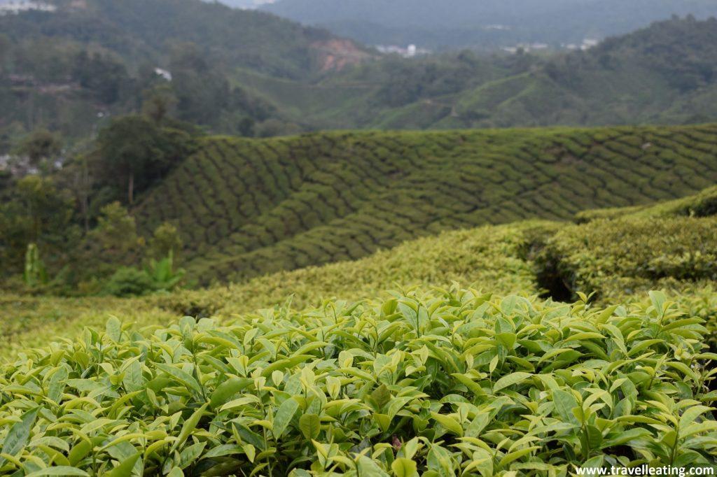 Plantaciones de té de las Cameron Highlands, en Malasia.