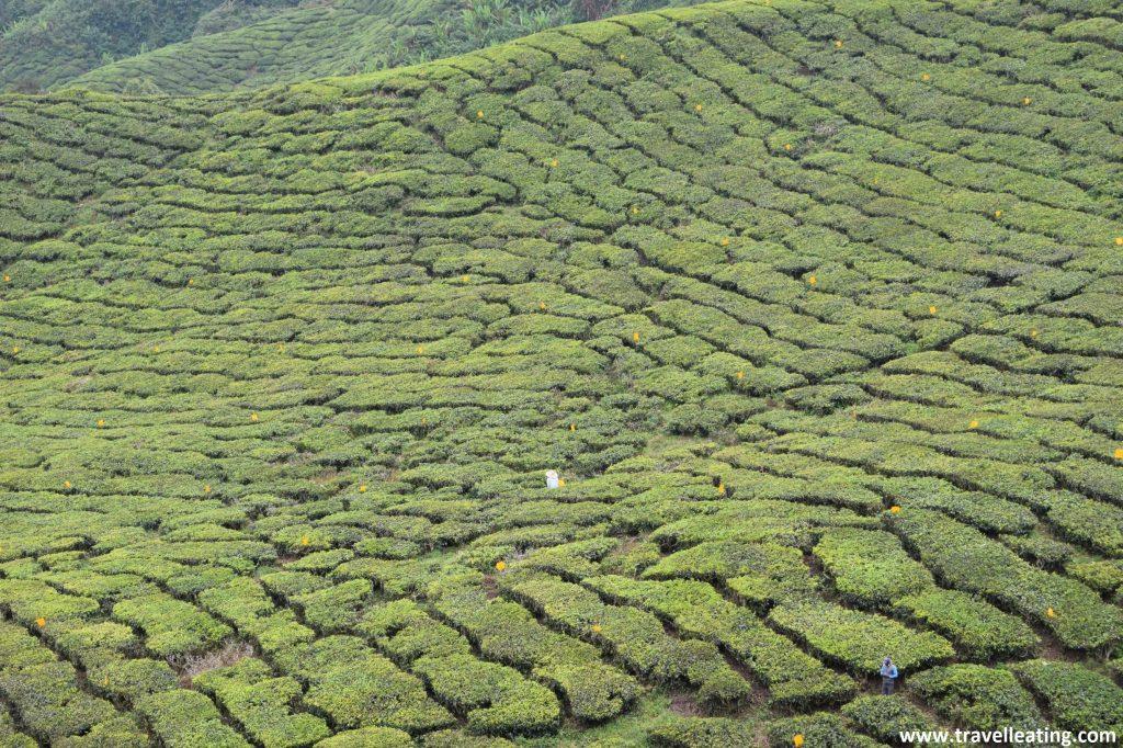 Campos de té en las Cameron Highlands.