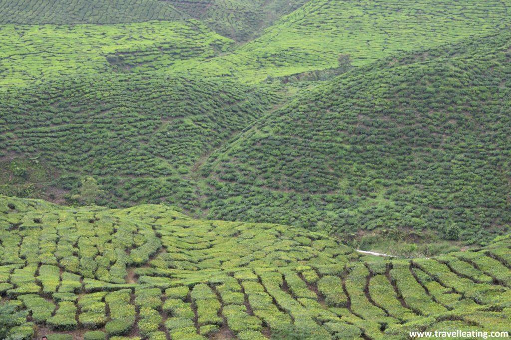 Campos de té en Cameron Highlands.