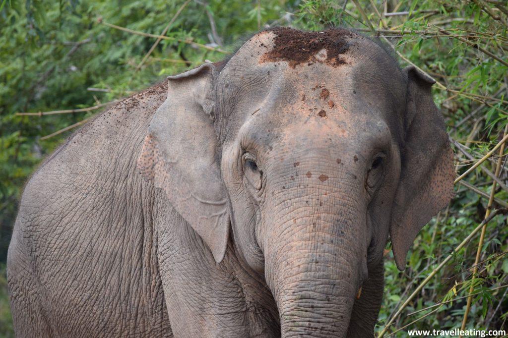 Primer plano de un elefante asiático mirando de frente en medio de un bosque, en un santuario. Viajar a Tailandia y ver elefantes va de la mano.