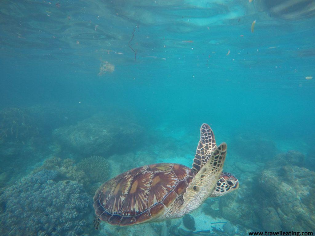 Tortuga nadando en las aguas turquesas de Filipinas.