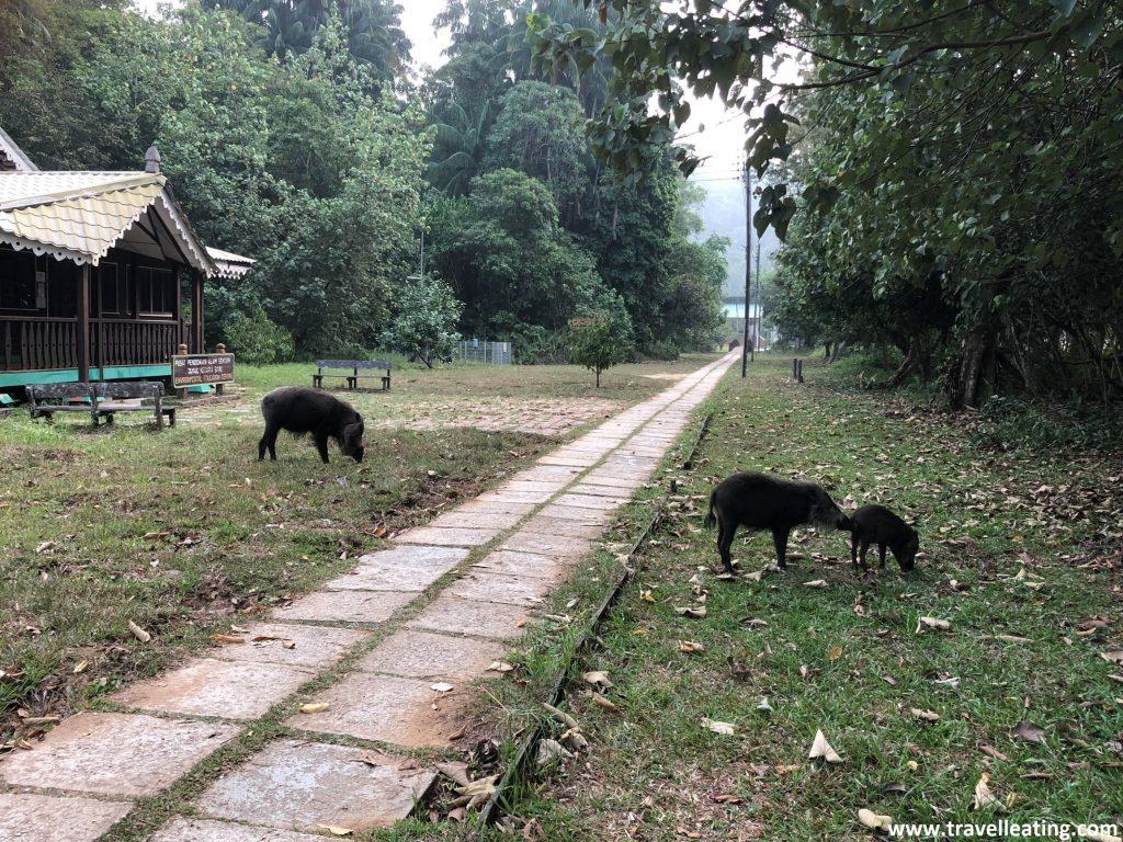 Familia de jabalís barbudos de Borneo.