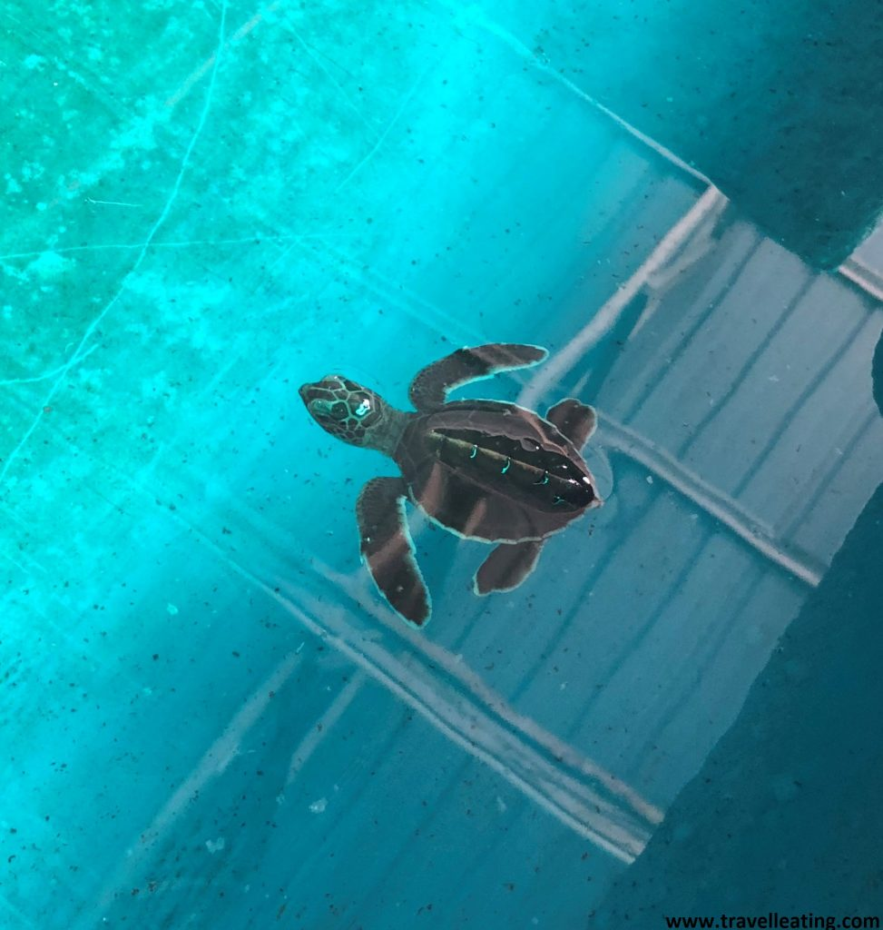 Cría de tortuga en el Turtle Conservation & Information Centre de Kerachut Beach