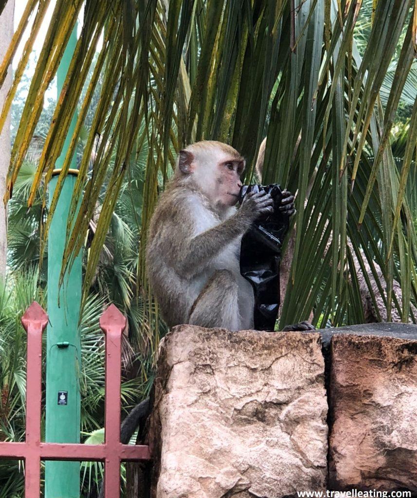 Mono comiendo basura en el Parque Nacional de Penang.