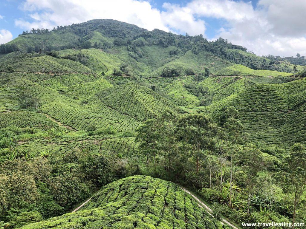 Más campos de té en Boh. Cameron Highlands.