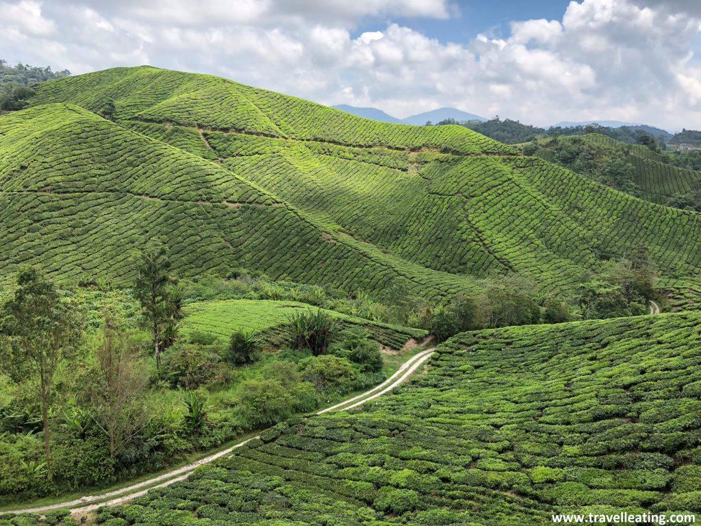 Plantaciones de té de la Boh Sungai Palas Tea Plantation. La plantación más bonita de las Cameron Highlands.