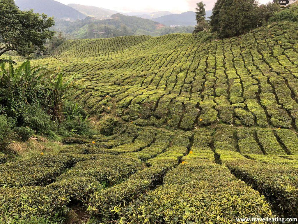 Campos de té de camino a Brinchang.