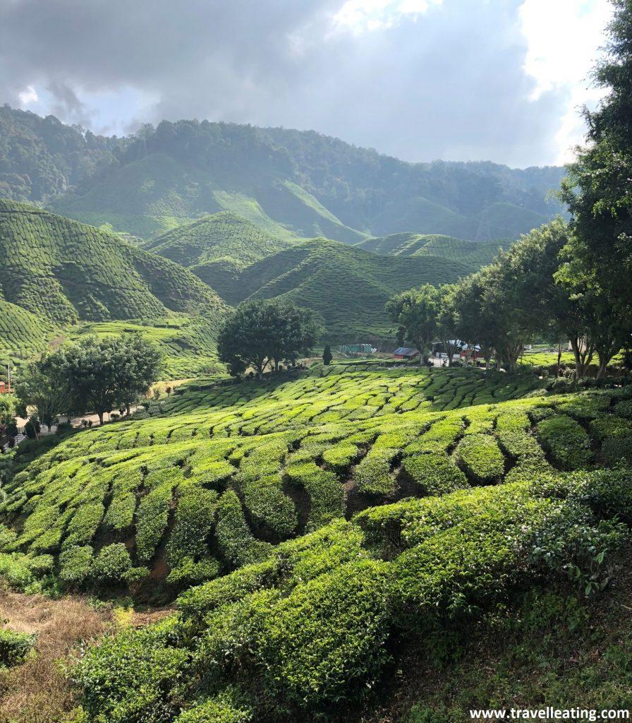 Plantaciones de té de Cameron Valley.