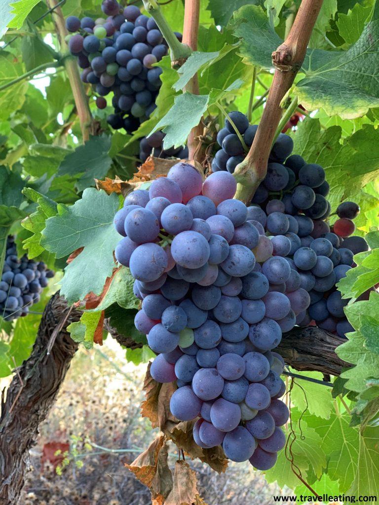 Racimos de uvas moradas colgando de una viña.