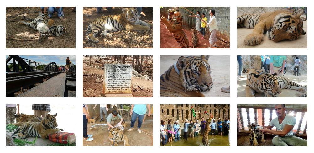 Varias imágenes de un santuario falso de tigres de Tailandia. Aparecen tigres atados, tumbados, turistas hacciéndose selfies y fotos con ellos o bañándolos.