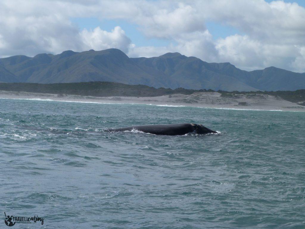 Ballena en medio del mar. Los avistamientos de cetáceos son uno de los avistamientos de animales más populares.