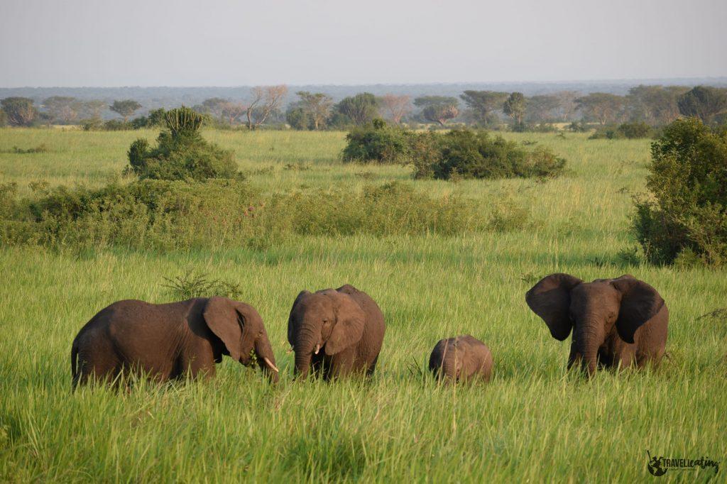 Familia de cuatro elefantes en medio de un precioso prado verde con arbustos. Uno de los avistamientos de animales que más he disfrutado.