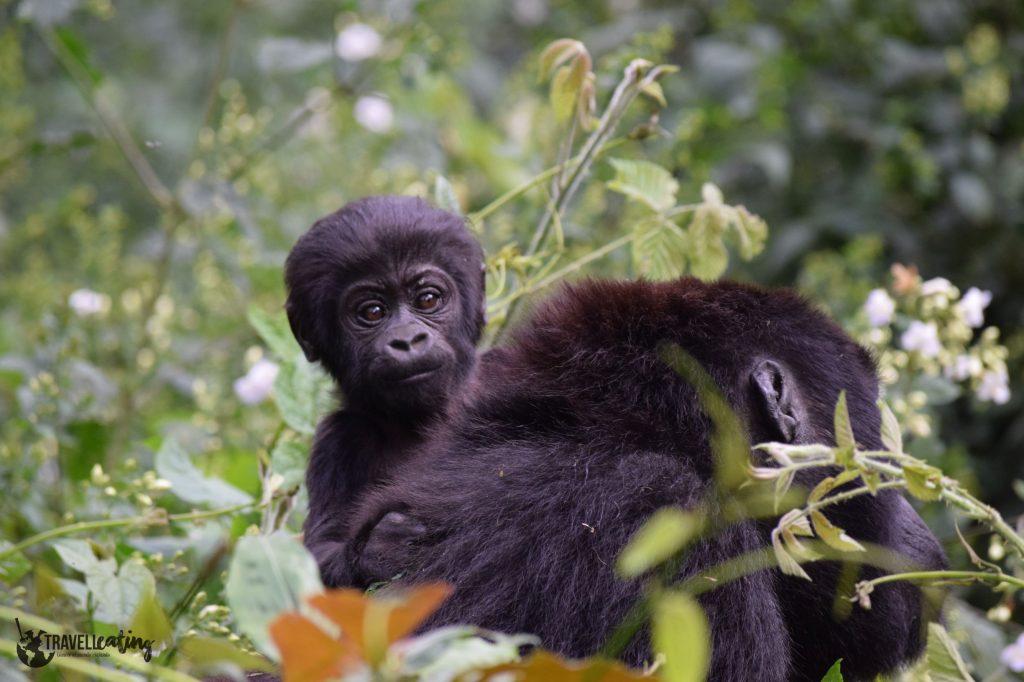 Cría de gorila subida a la espalda de su madre en medio del bosque de Bwindi, uno de los avistamientos de animales más populares.