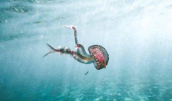 Preciosa medusa con tonos rosados y semitransparente, nadando en un mar turquesa.