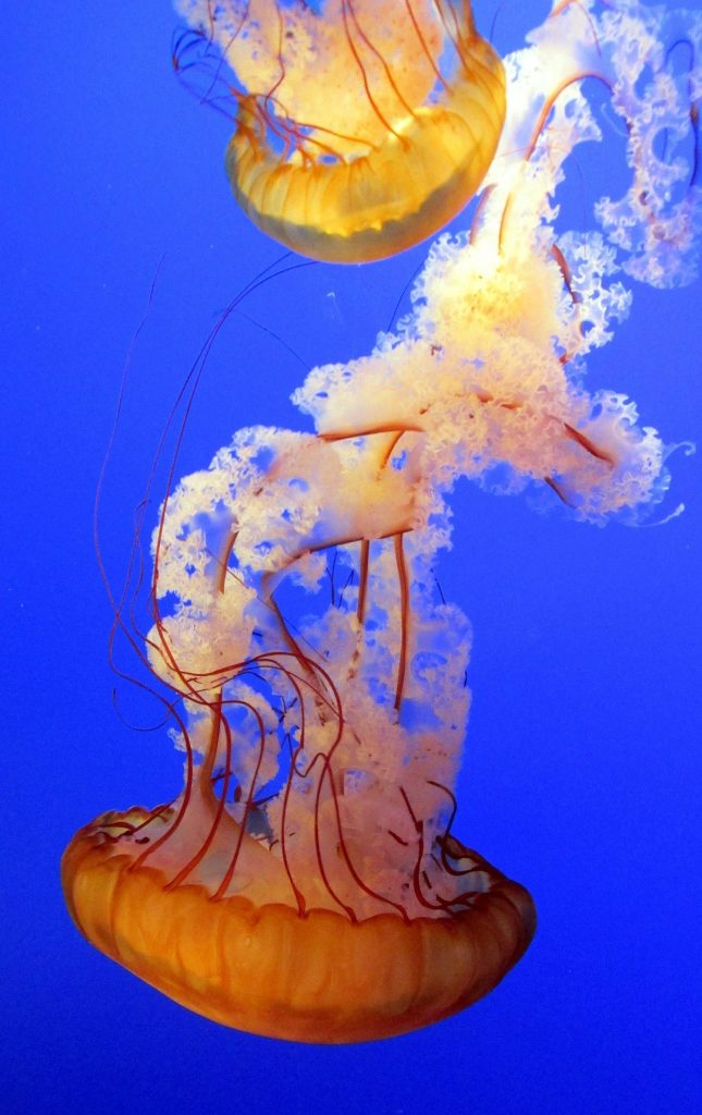 Preciosa foto de dos medusas con tonos naranjas nadando por el mar.