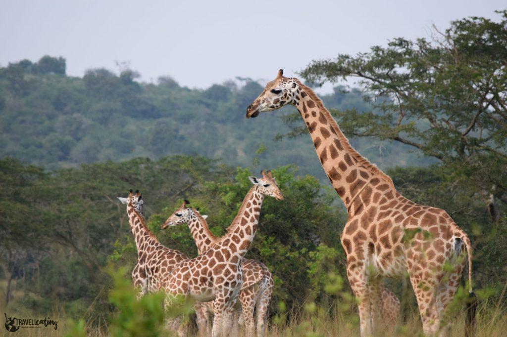 Grupo de cuatro jirafas entre arbustos en la sabana. Están curiosamente intercaladas: la primera está de perfil hacia la izquierda, la segunda hacia la derecha y así succesivamente.
