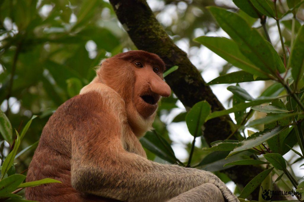 Mono con pelaje anaranjado y una gran nariz, sentado en una rama en el PN de Bako, uno de los mejores lugares de Malasia donde hacer avistamientos de animales.