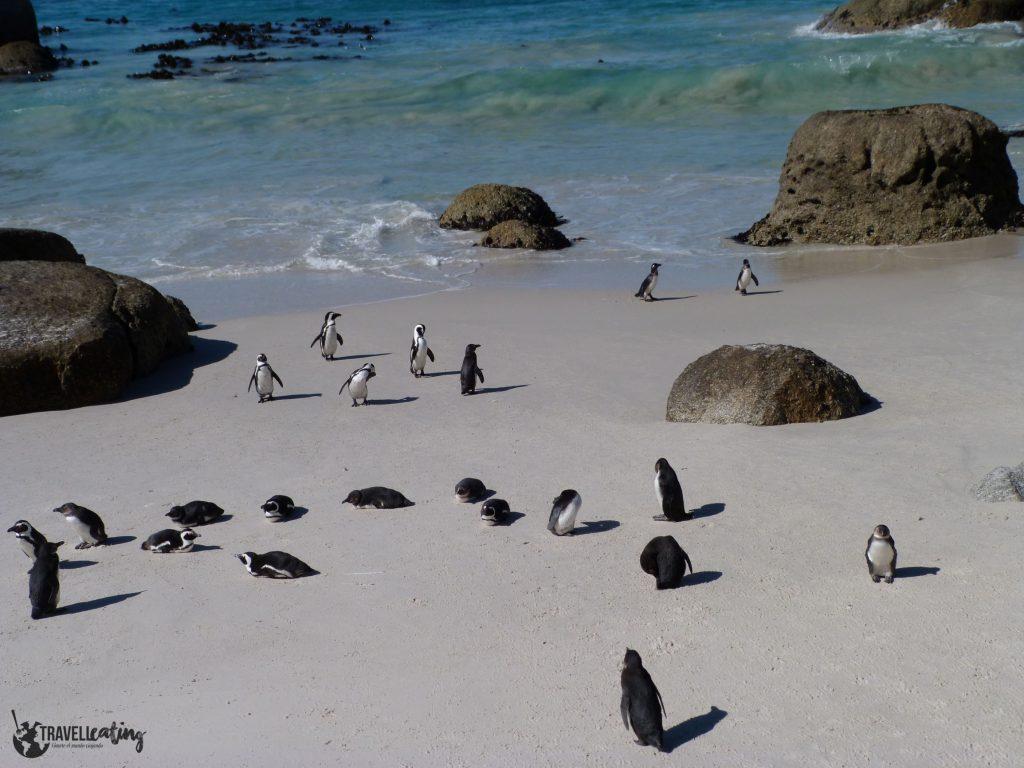 Grupo de pingüinos de pequeño tamaño saliendo del agua en una bonita playa con grandes rocas.