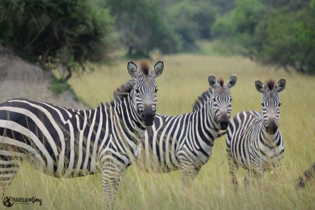 Tres cebras en medio de la sabana vistas durante un safari, uno de los avistamientos de animales más populares.
