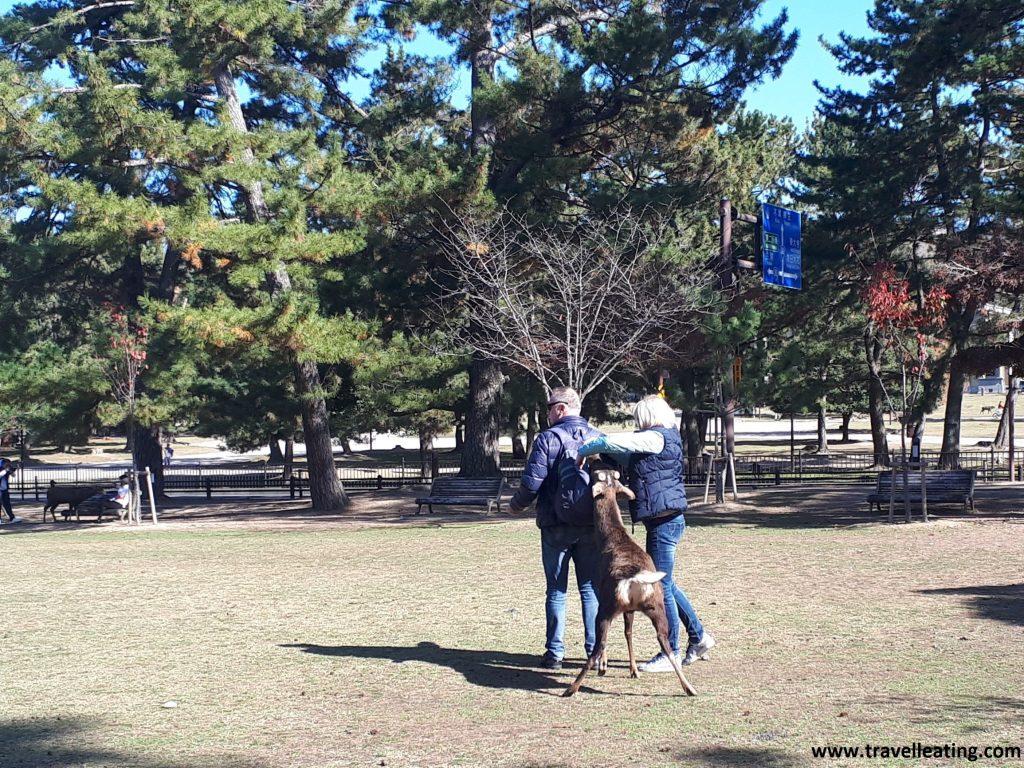 Alimentar a los animales puede provocar que se acostumbren al ser humano y se vuelvan agresivos, como este ciervo en el Parque de Nara.
