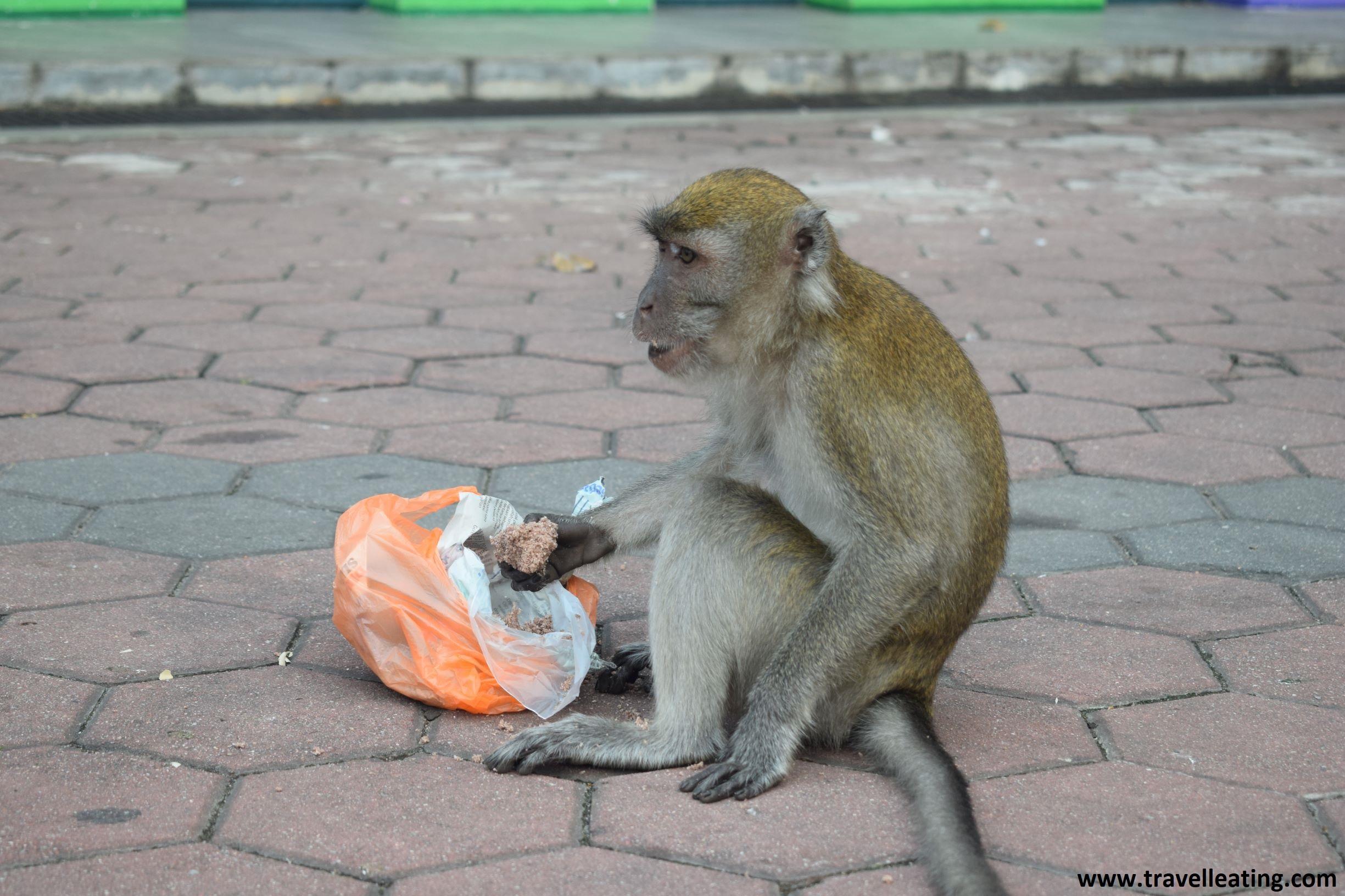 Alimentar a los animales con comida no adecuada para ellos todavía les es más perjudicial. Como este mono comiendo dulces en las Batu Caves.